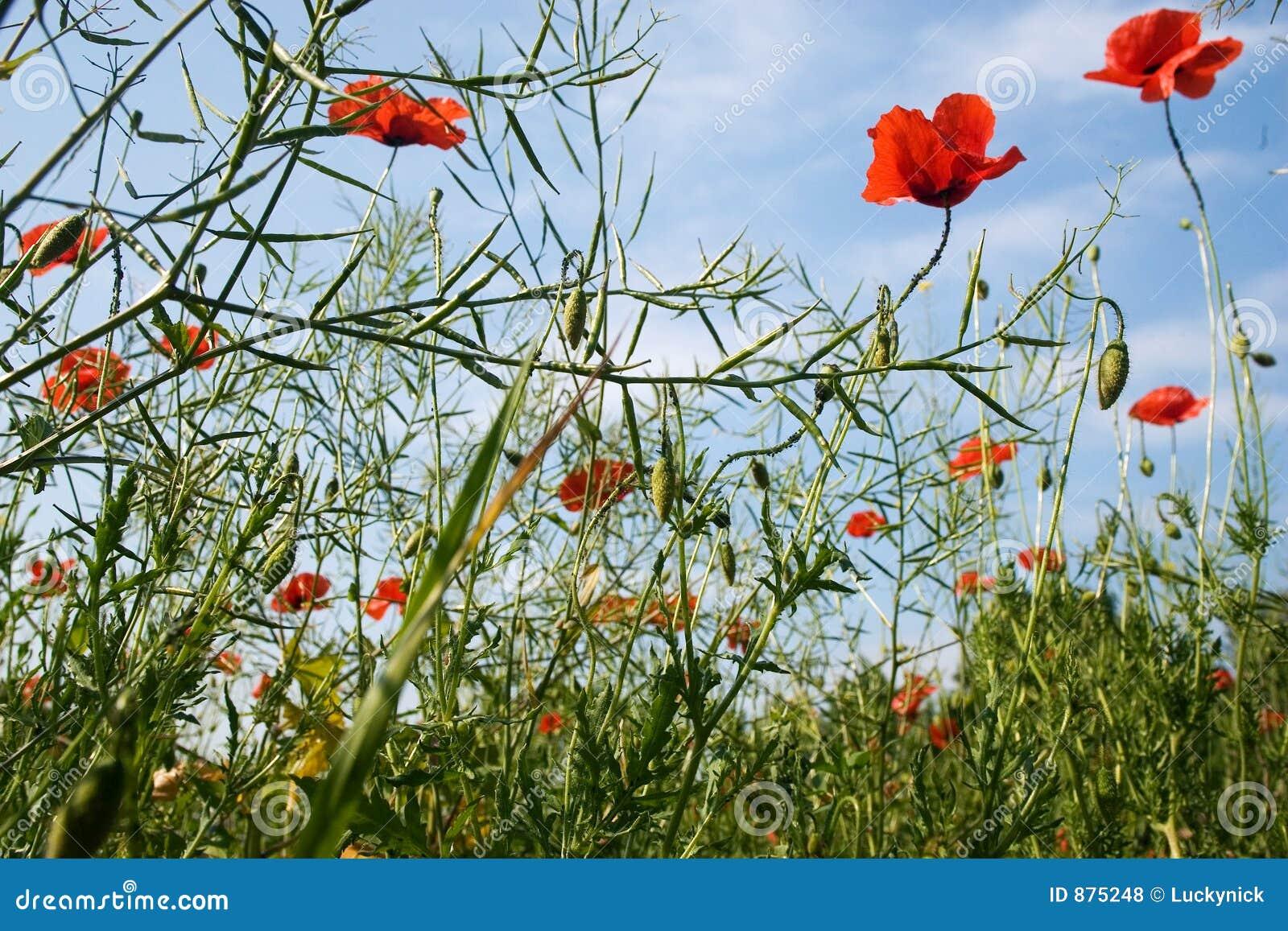 Poppy pola