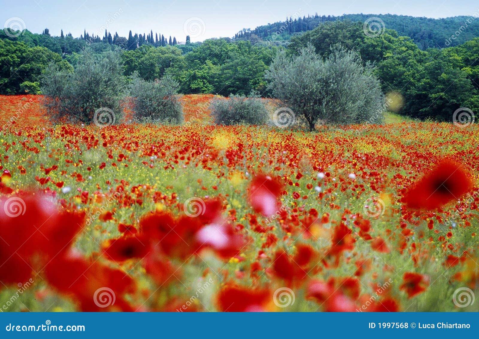 Poppy pola Toskanii
