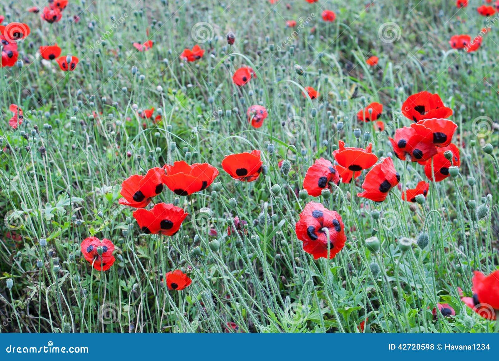 The Poppy Or Poppies World War One In Belgium Flanders Fields Stock