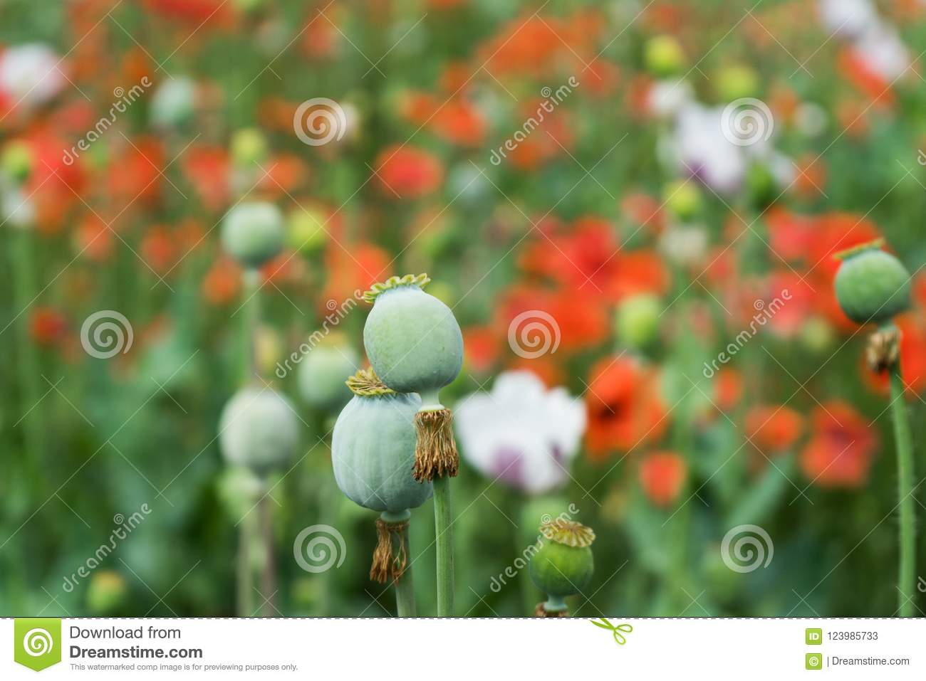 Poppy red flowers and green heads