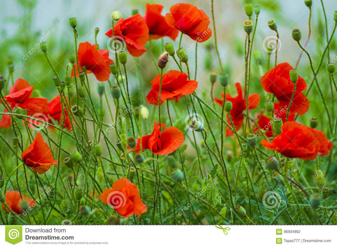 Poppy Red Poppy Flowers Red Poppies Blossom On Wild Field Bea