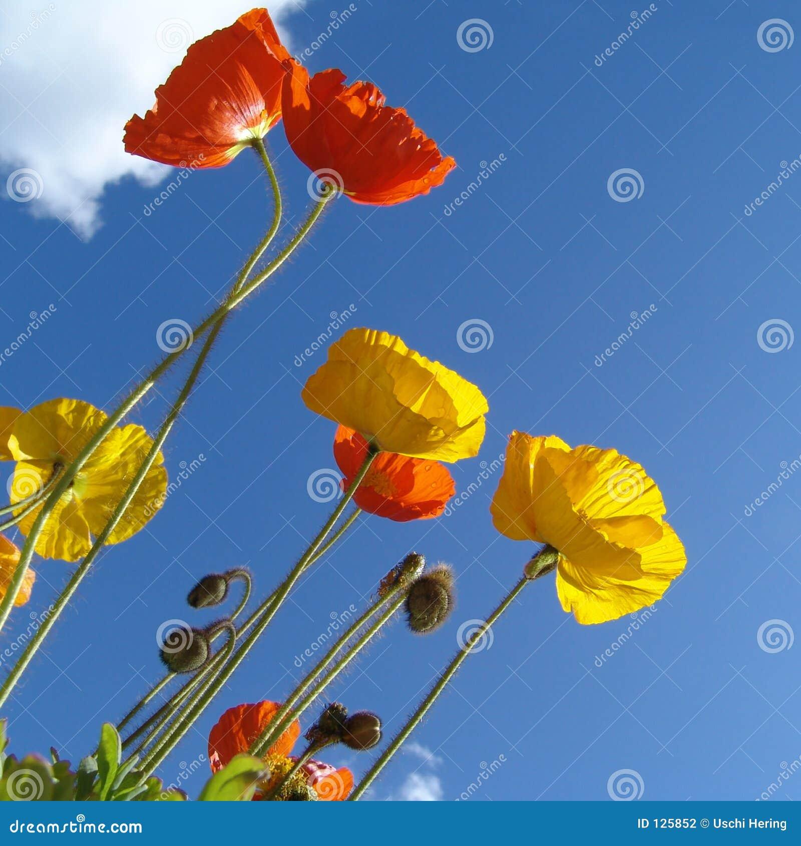 Poppy, słońce