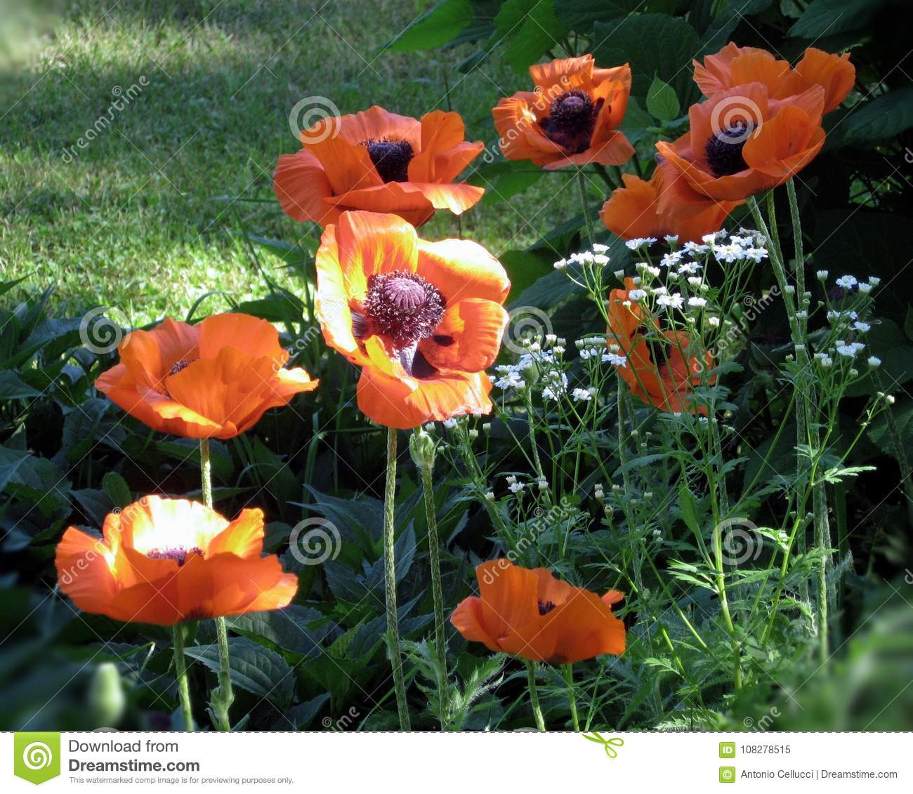 Poppy`s flowers growing in the garden