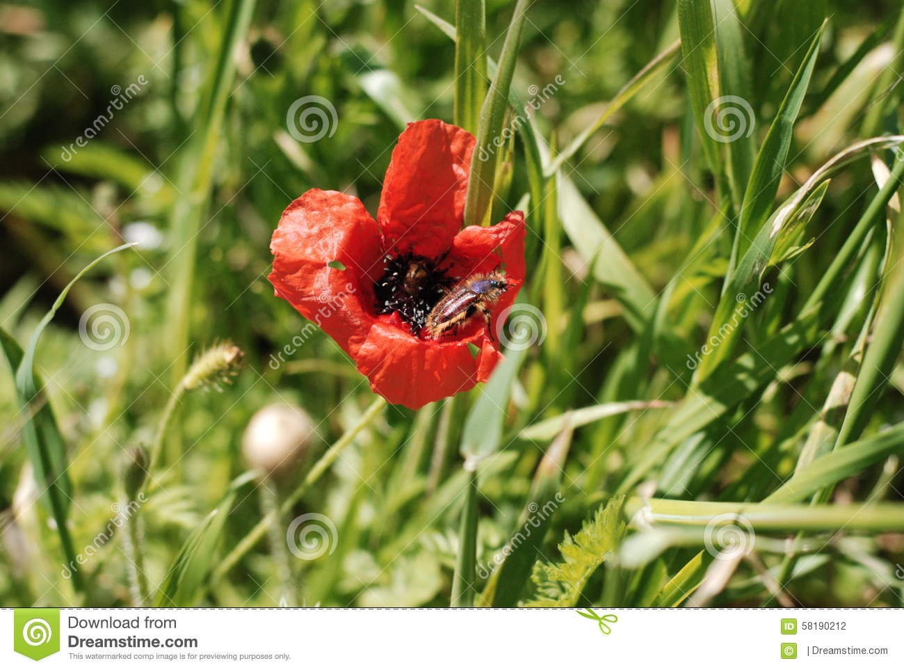 Poppy Seed Stock Photo Image 58190212