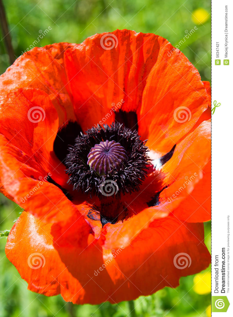 Poppy seed flower stock image image of single nature 56347421 download comp mightylinksfo