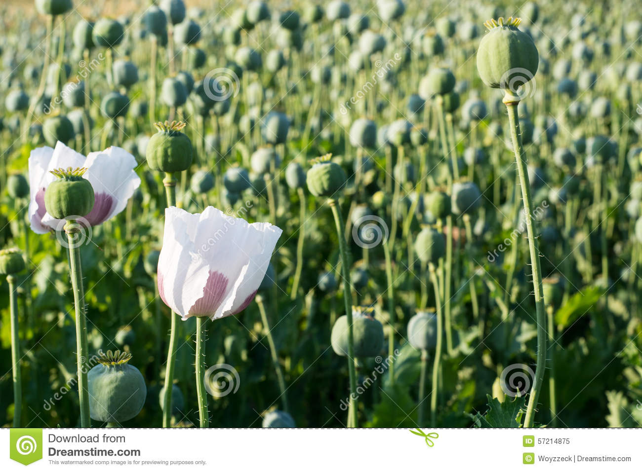 Poppy Seed Flower Stock Image Image Of Background Heads 57214875