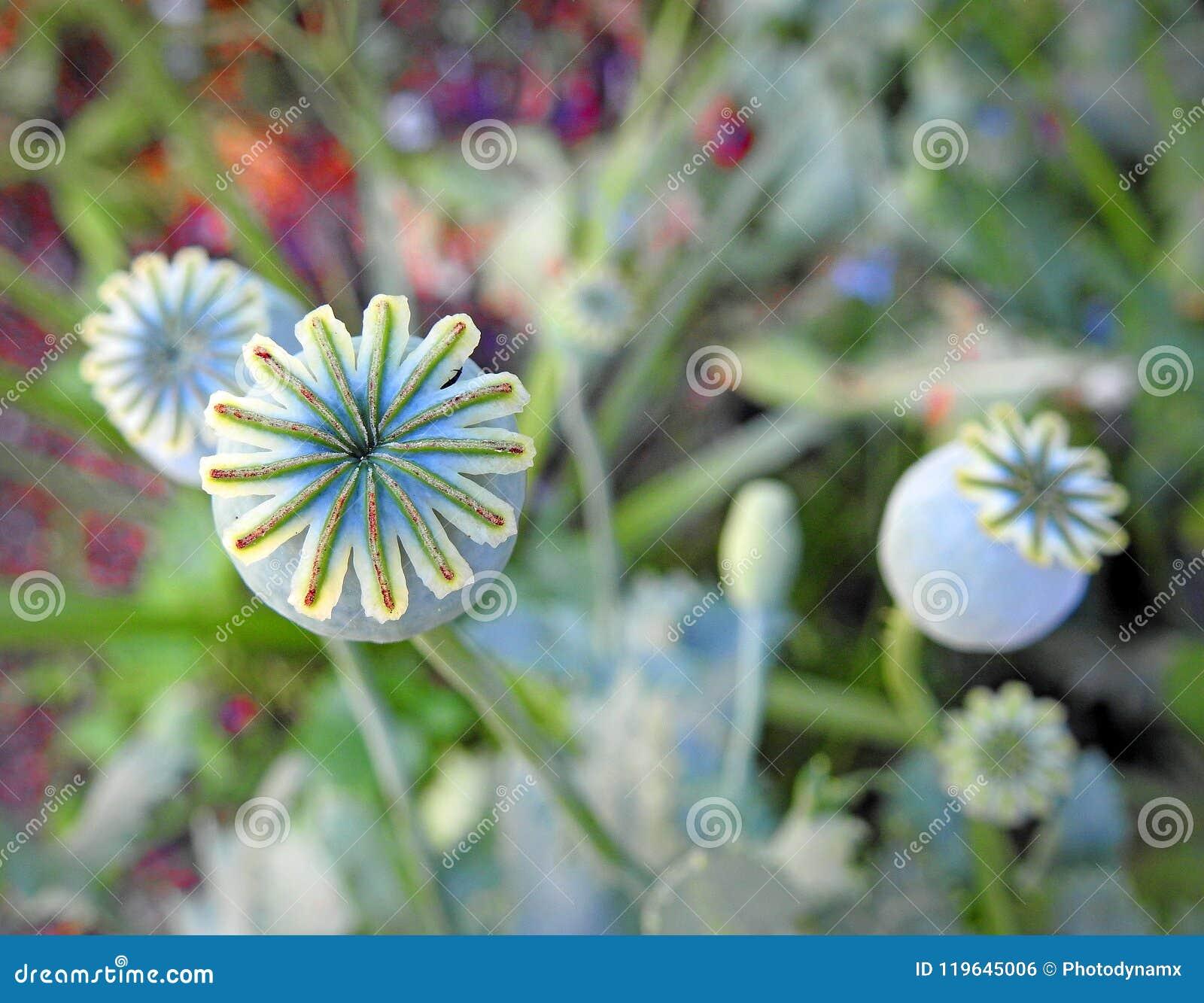 Poppy Seed Pod Heads Flowers Plants Stock Photo Image Of Stalks