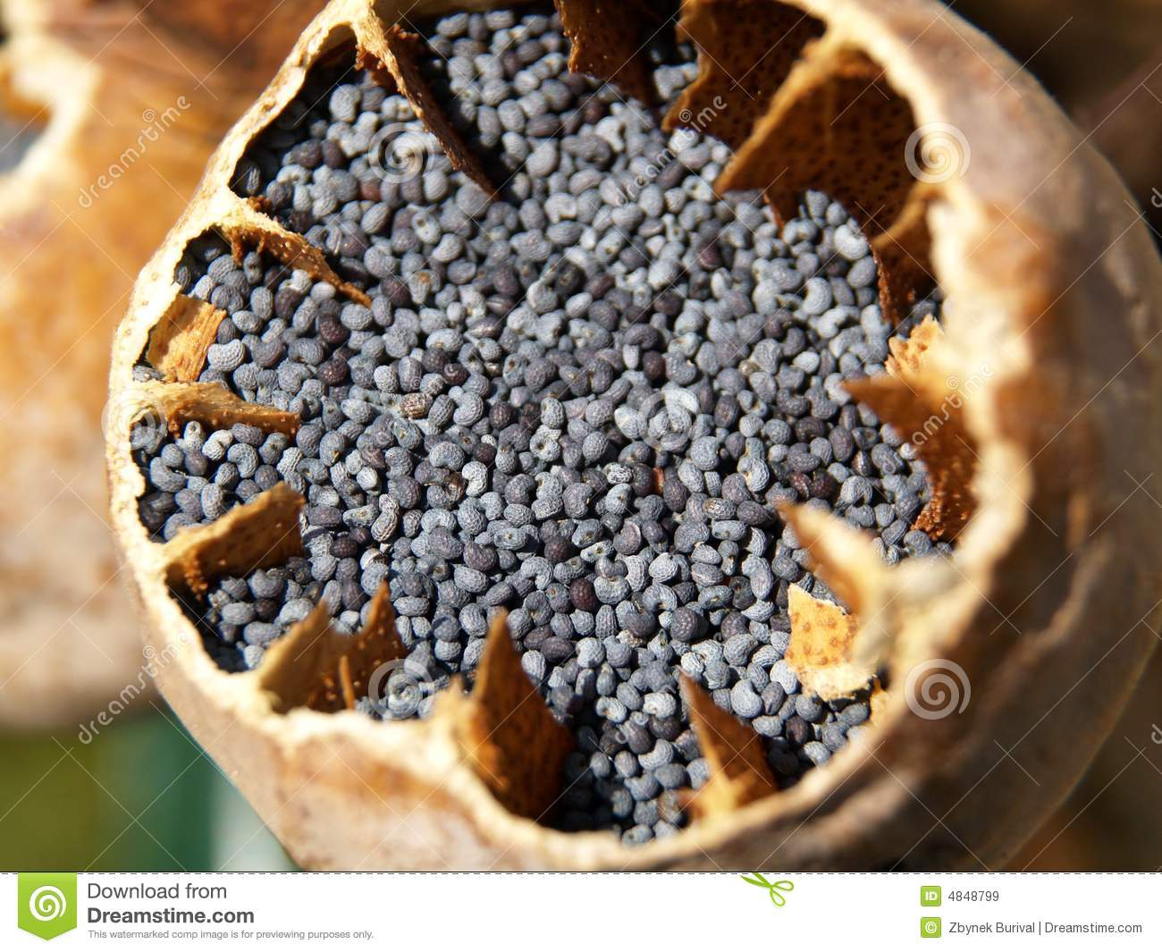 poppy seeds royalty free stock images image 4848799