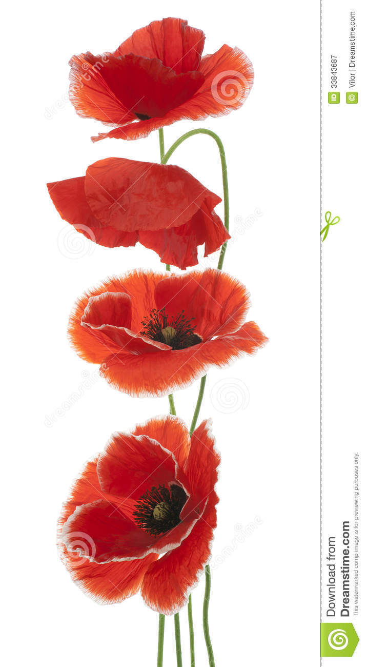 Poppy stock image image of cutout focus annual blooming 33843687 poppy mightylinksfo