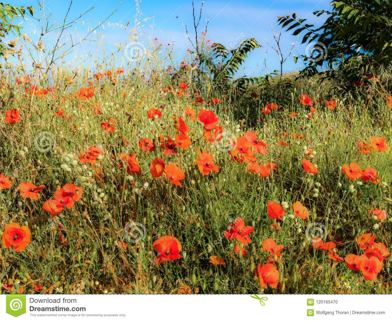 Poppy thicket in the sun stock photo image of donning 120165470 poppy thicket in the sun mightylinksfo