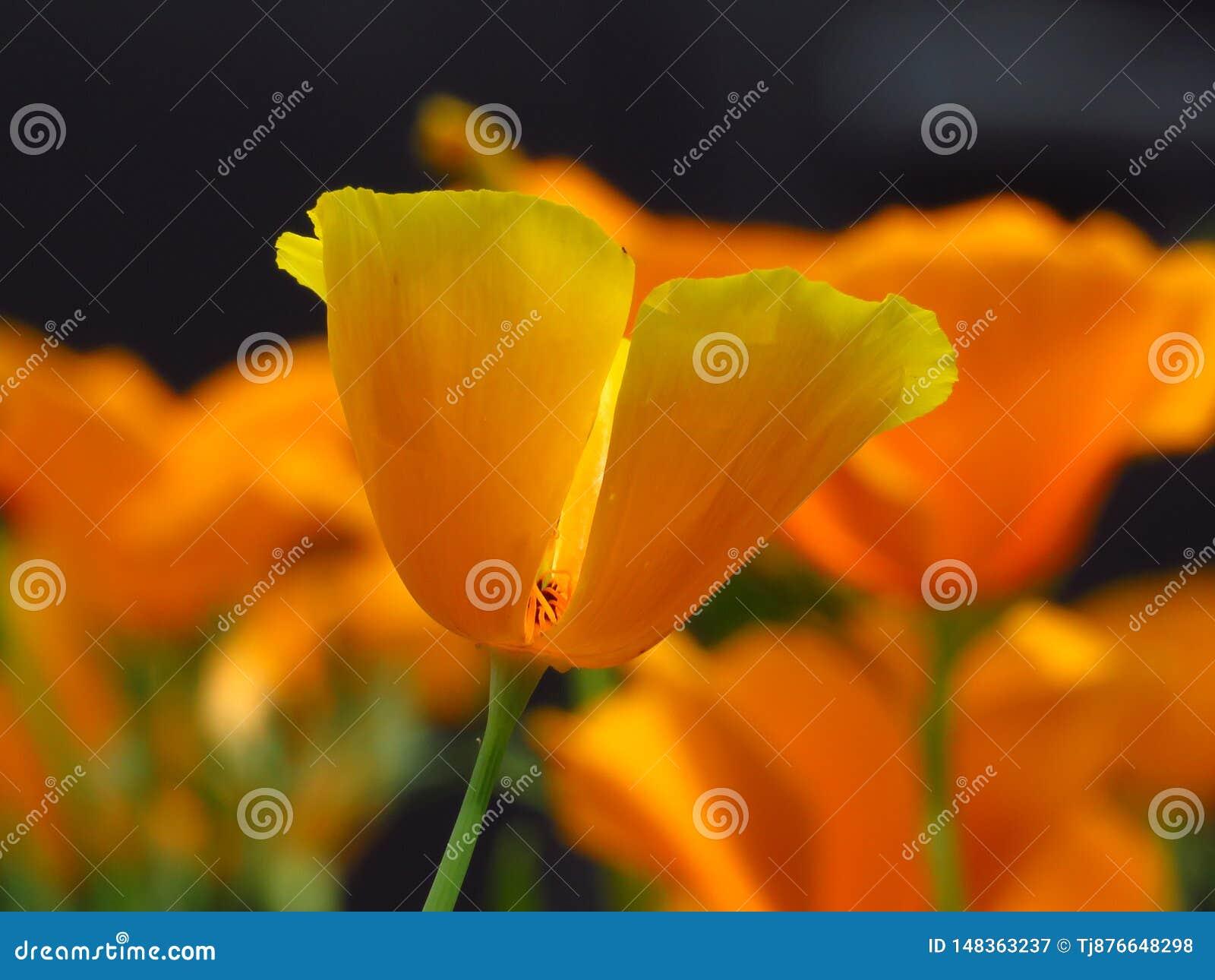 Poppy yellow garden flowers. California Poppy. Orange yellow flower closeup on blurred background.