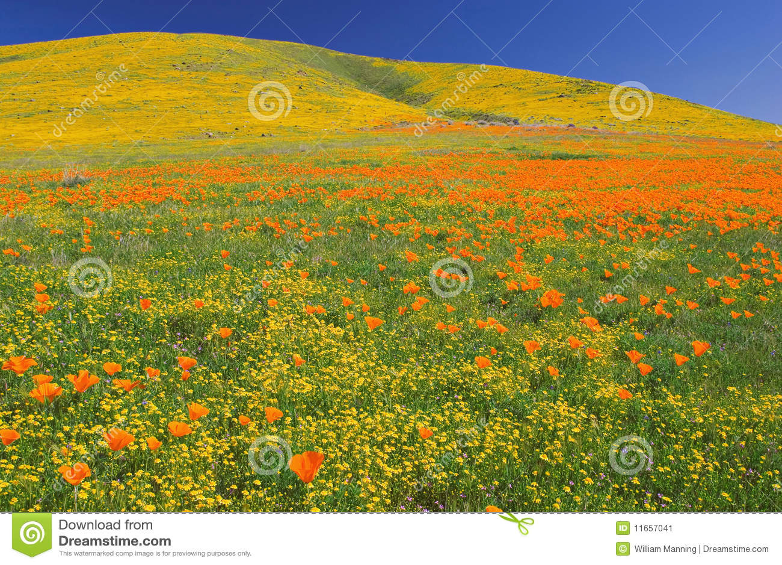 Poppys цветеня полные