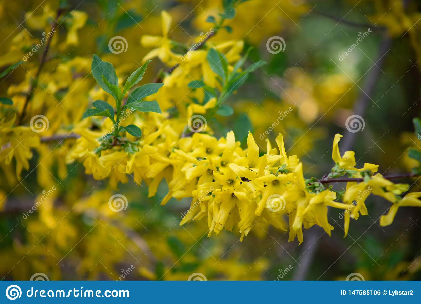 Popular in Europe shrub forsythia blooms beautiful yellow gold flowers Sunny spring day in the Park
