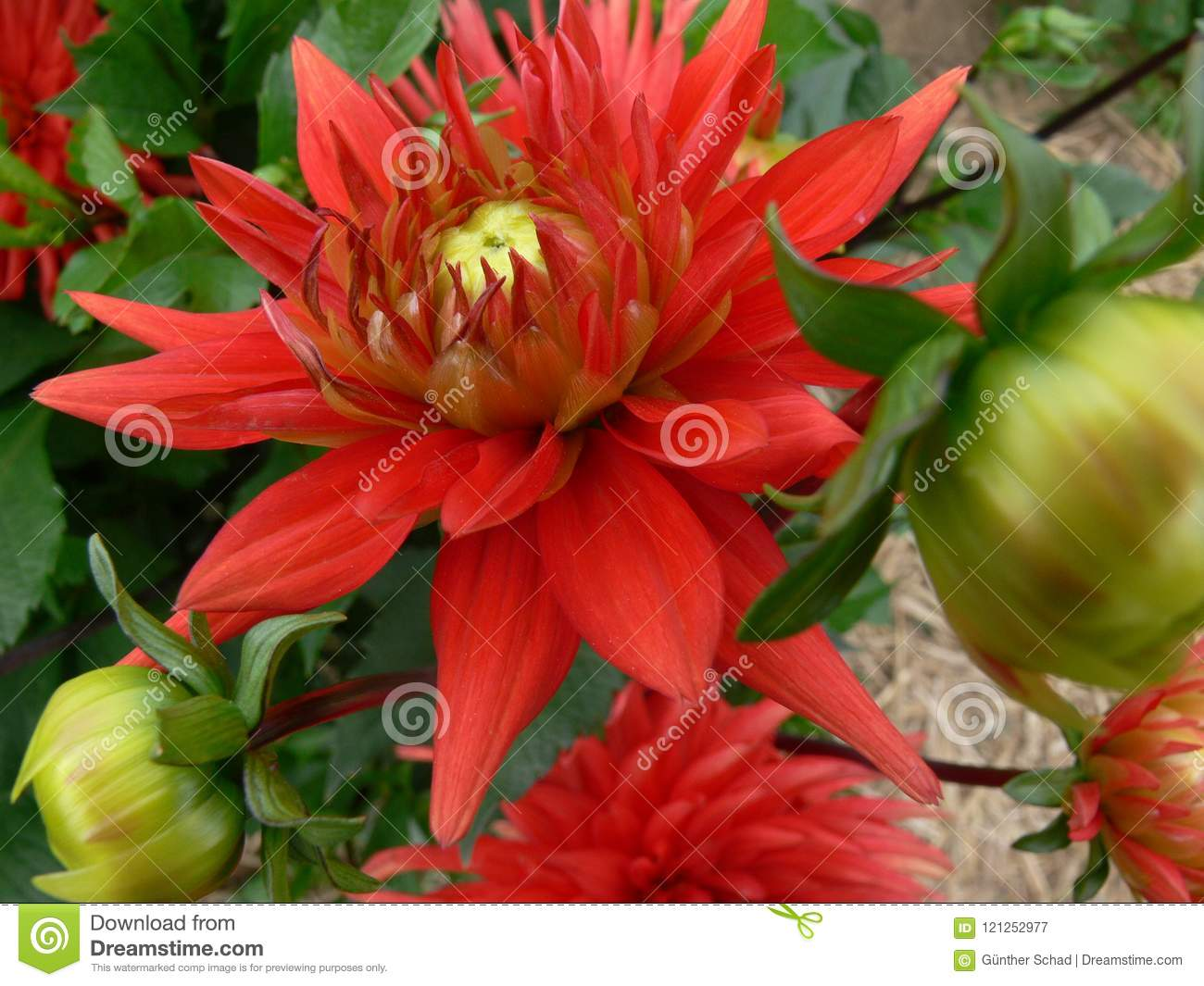 Intense Red Dahlia Flower And Dahlia Buds Stock Image Image Of