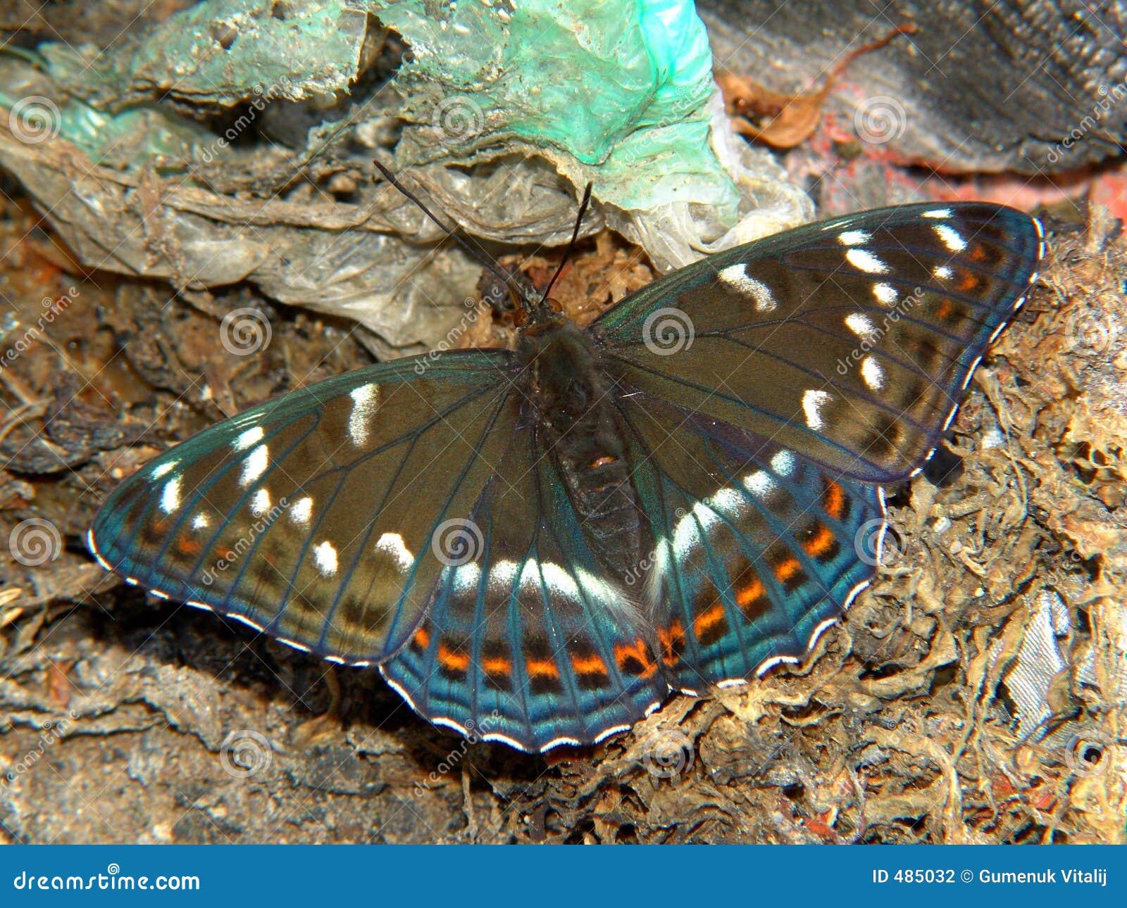 Populi do Limenitis da borboleta.