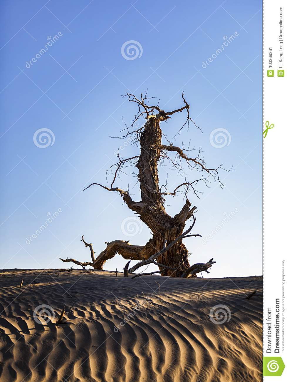 Populus euphratica died without fail