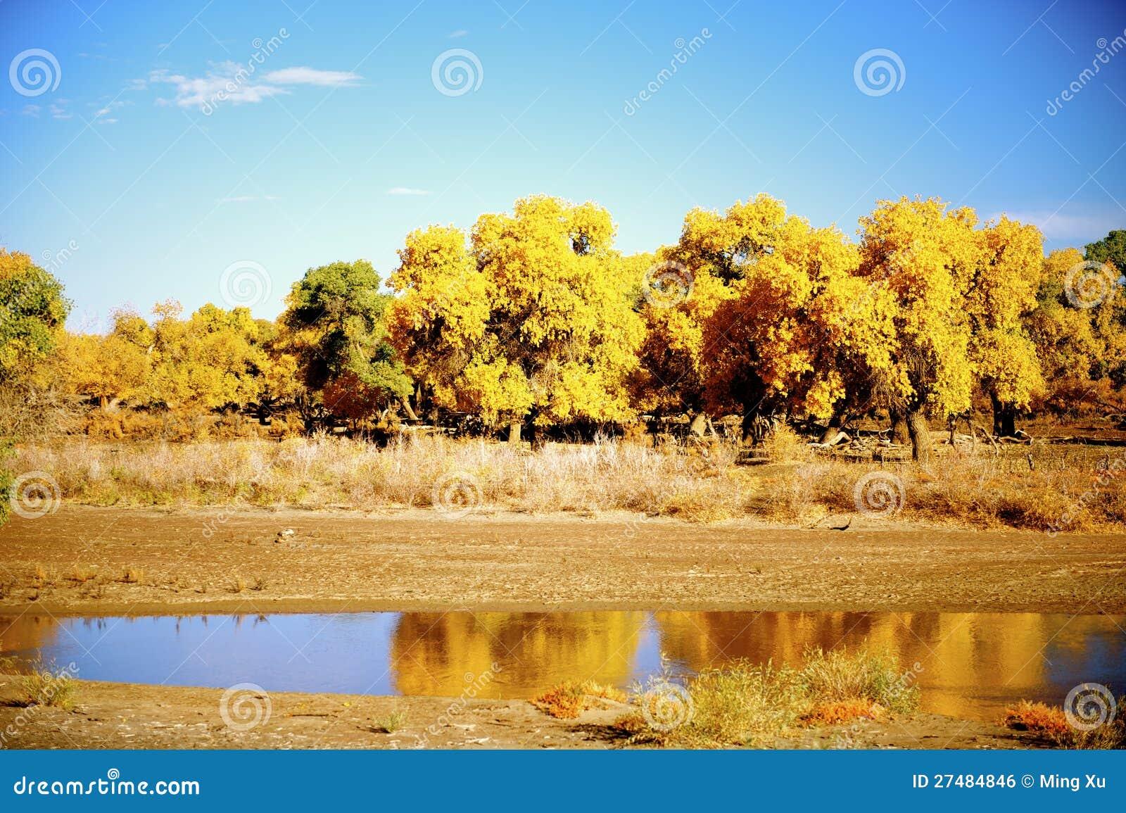Populus euphratica neben dem Fluss