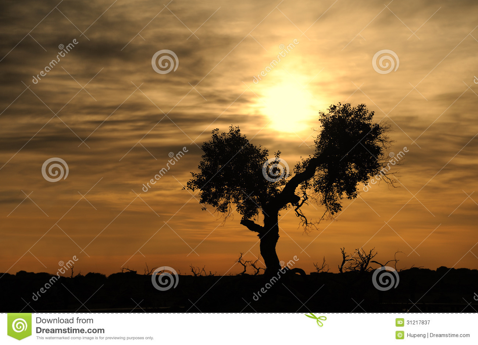 Populusboom bij zonsopgang