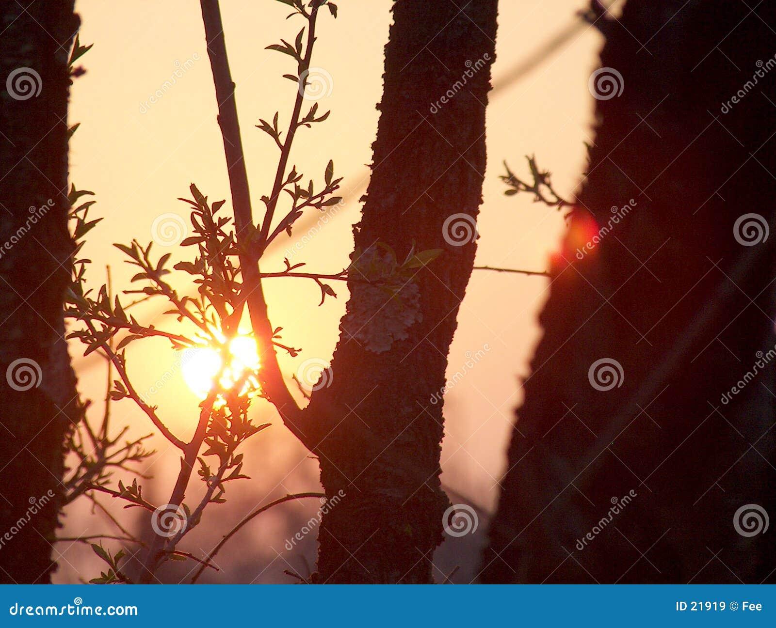 Por do sol através das árvores