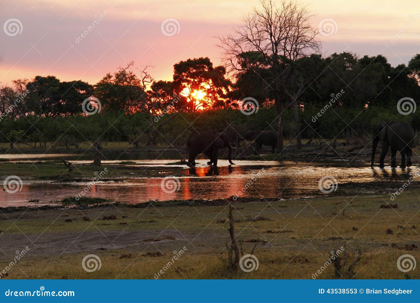 Por do sol dos elefantes africanos no canal de Savuti