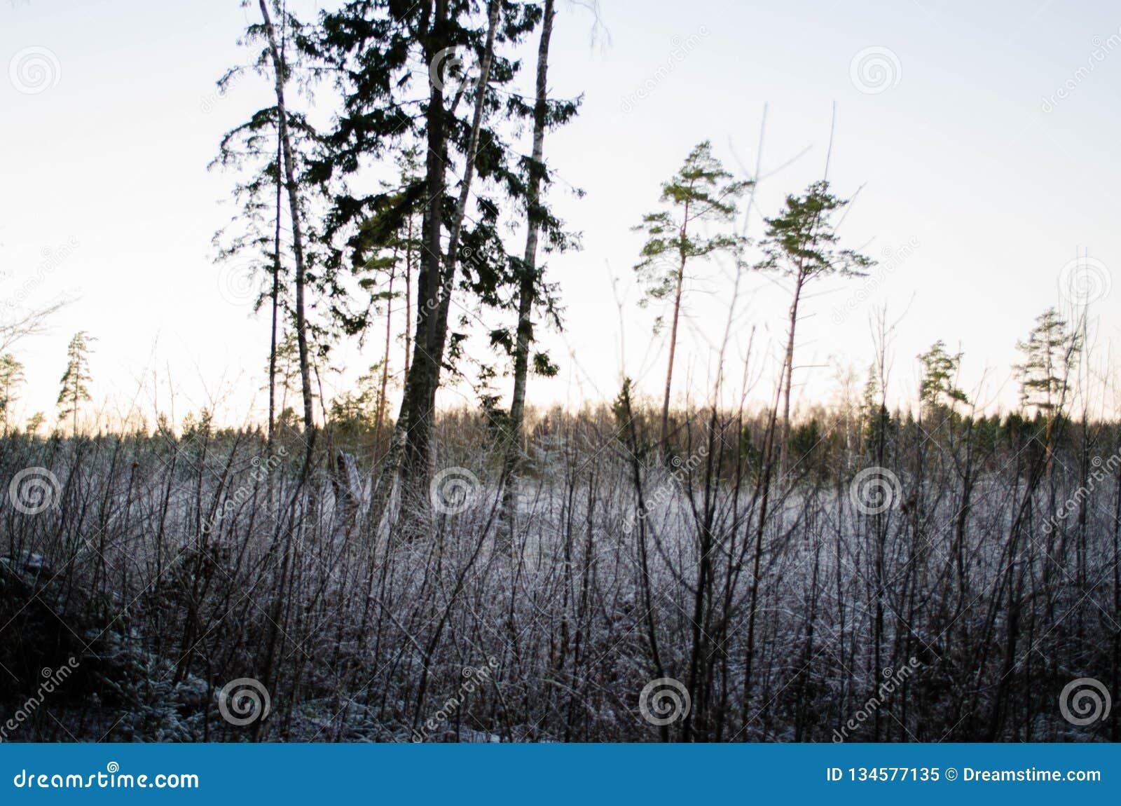 Por do sol do inverno da opinião da floresta, no campo Otanki, Letónia