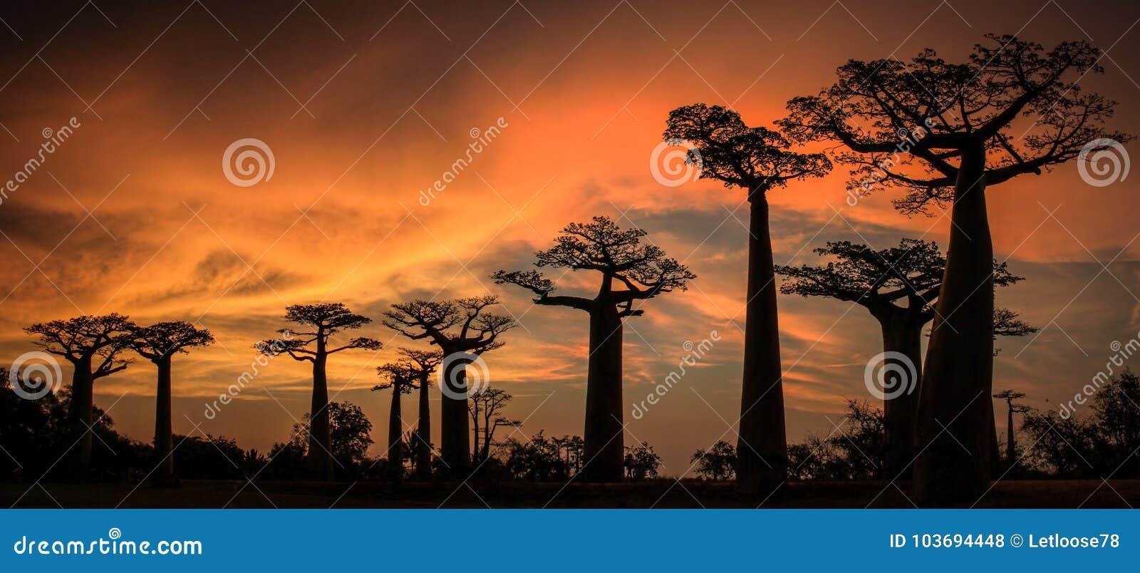 Por do sol panorâmico na avenida ou na aleia do Baobab, Menabe, Madagáscar