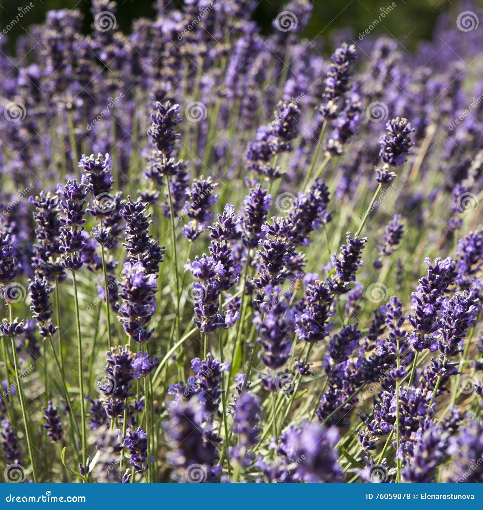 Por do sol sobre um campo roxo da alfazema do verão Grupo de flores scented nos campos do lavanda do Provence francês perto de Va