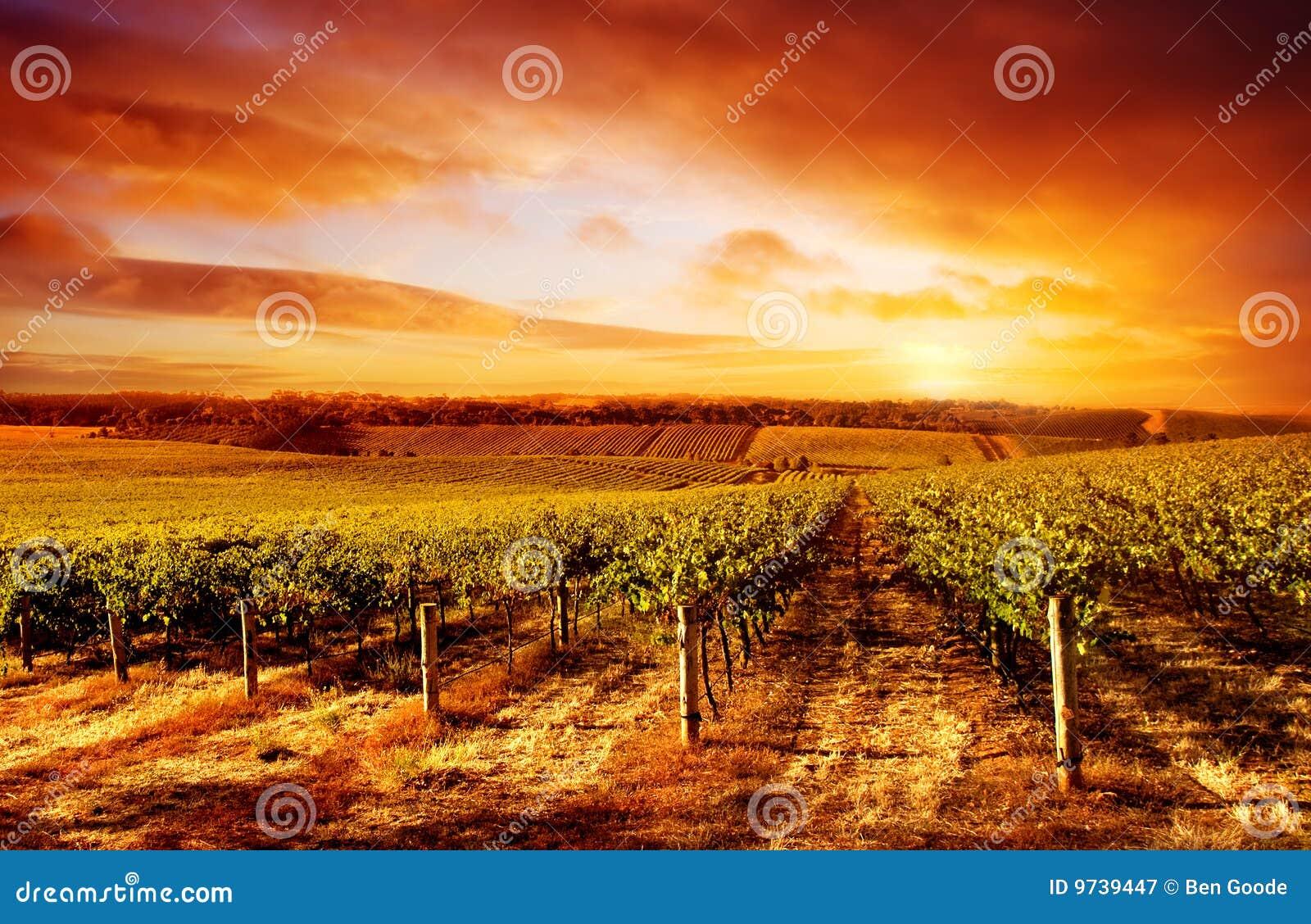 Por do sol surpreendente do vinhedo