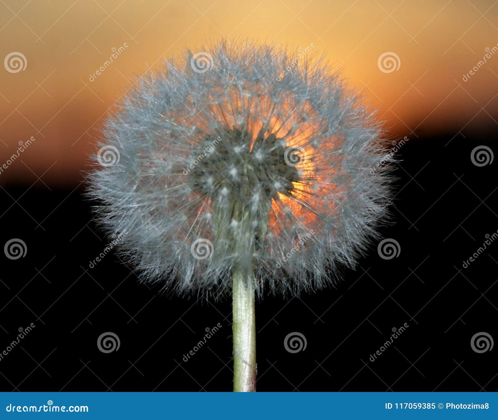 Por do sol do sol Um dente-de-leão desvanecido Formulário ideal compacto da colocação da semente