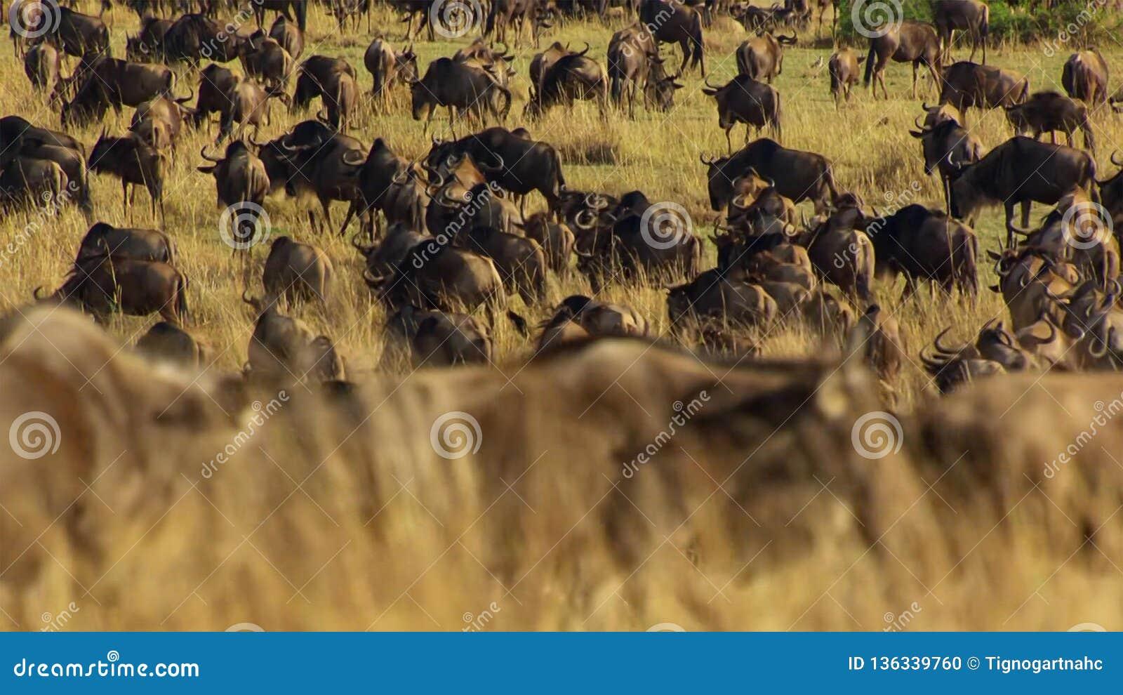 Pora sucha bierze chwyt Unikać głodzenie, dużo wildebeest wędrówka wschodnia afrykańska sawanna goni deszcz