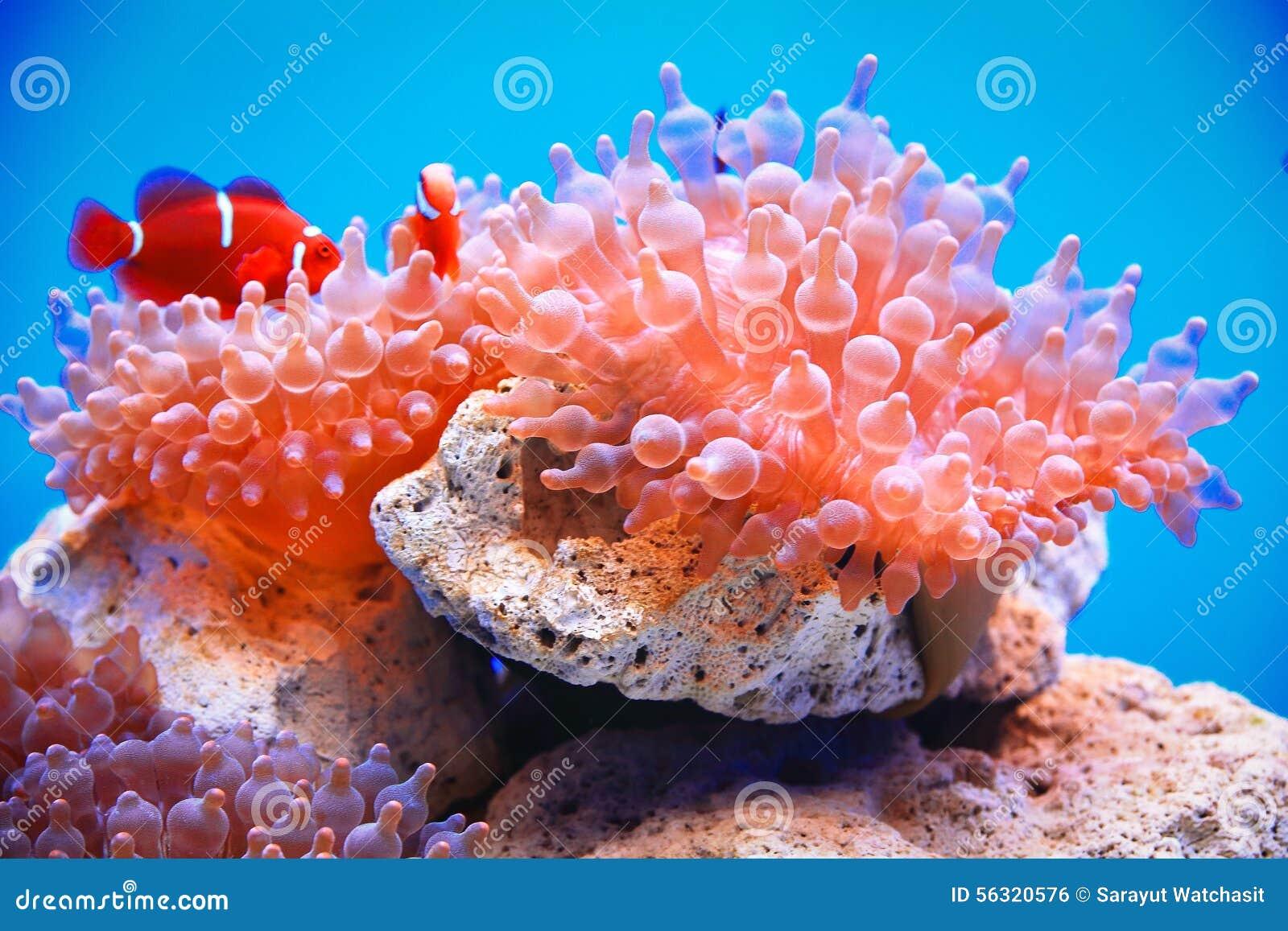 Porada anemon