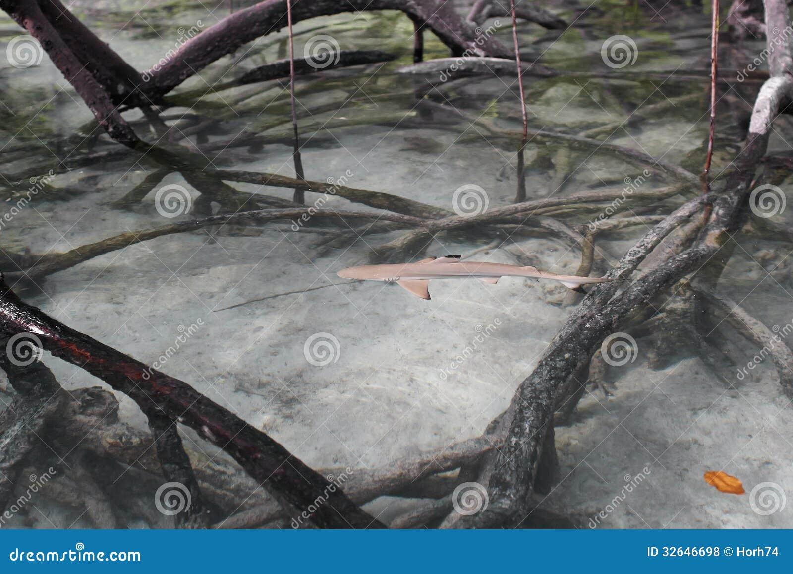 Porada rafowy rekin w mangrowe.