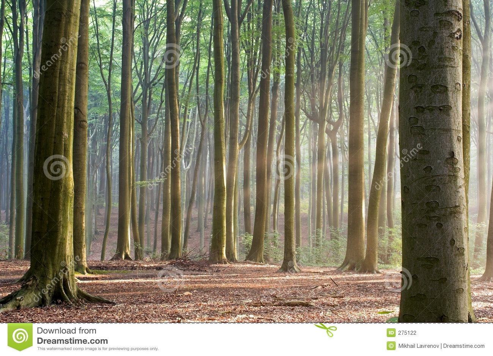 Poranne mgławi drzew leśnych