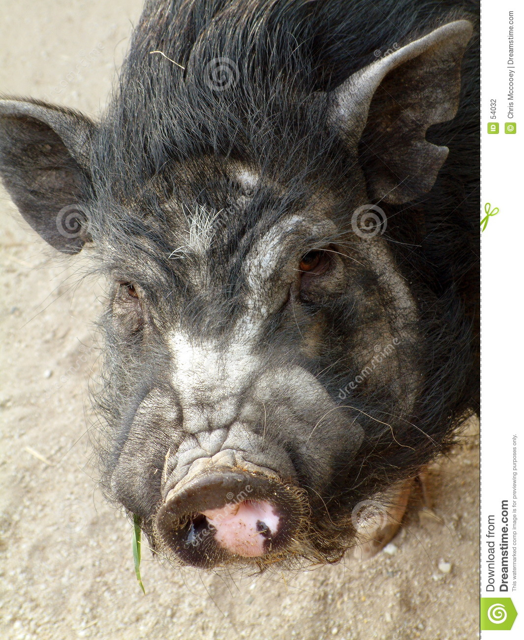 Download Porc photo stock. Image du animal, animaux, potbellied, porcs - 54032