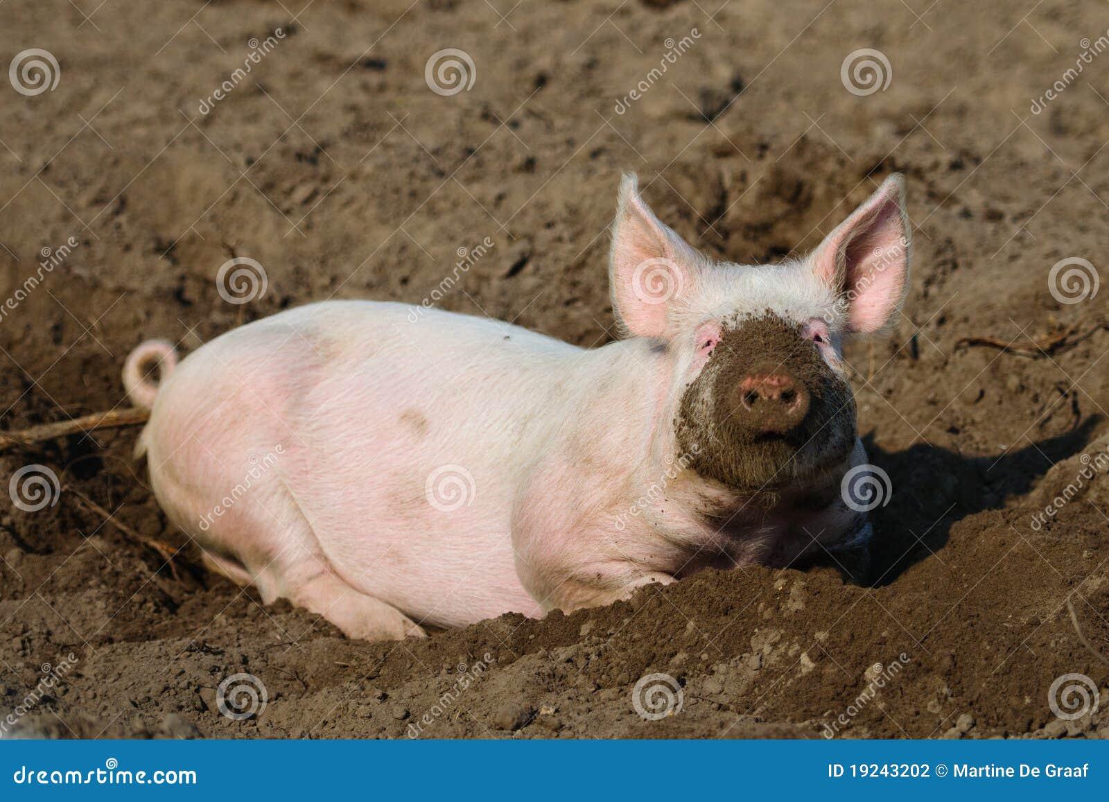 Porc biologique heureux