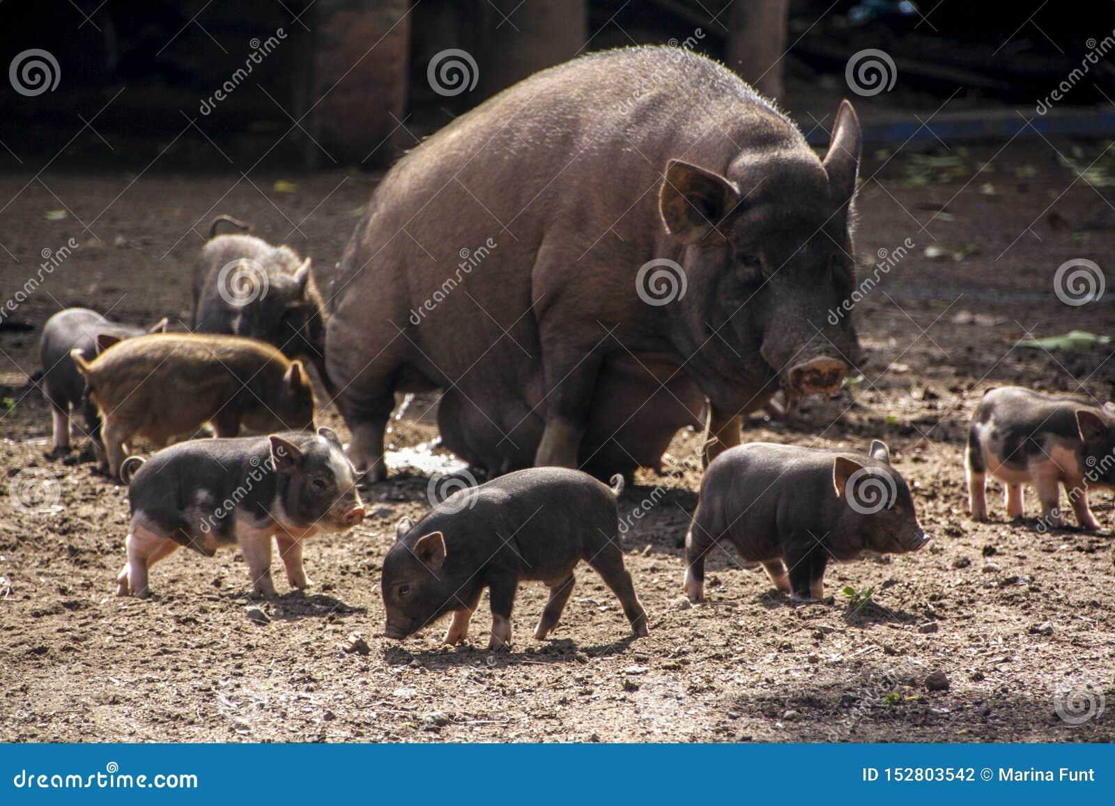 Porc de mère et beaucoup de porcelets mignons autour