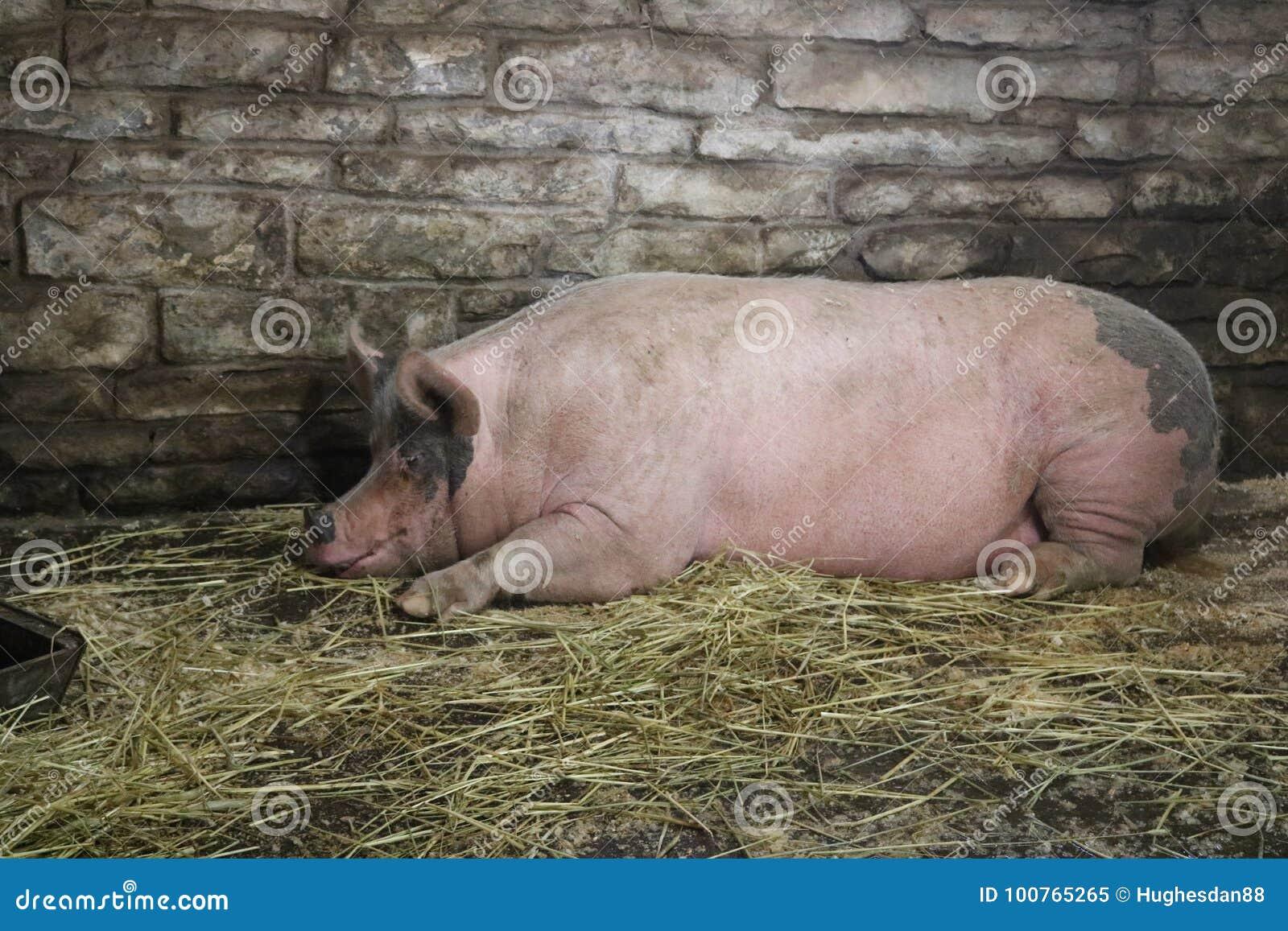 Porc dormant dans la grange