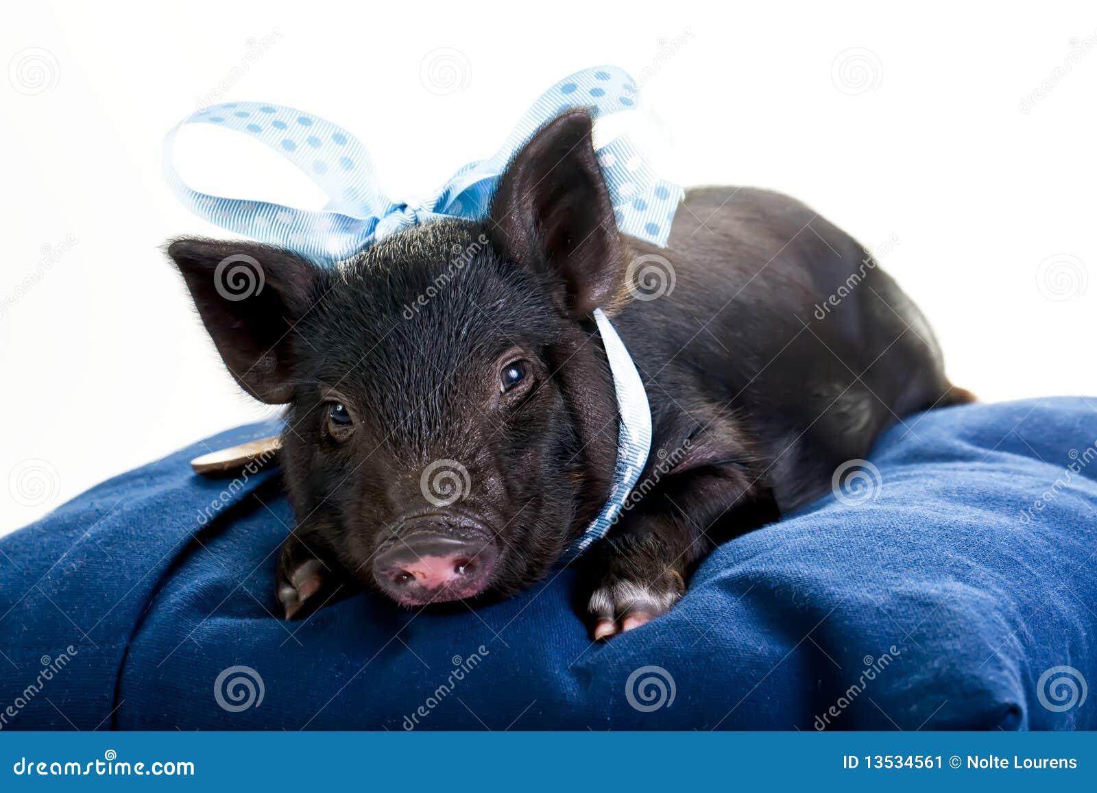 Porc fatigué se couchant