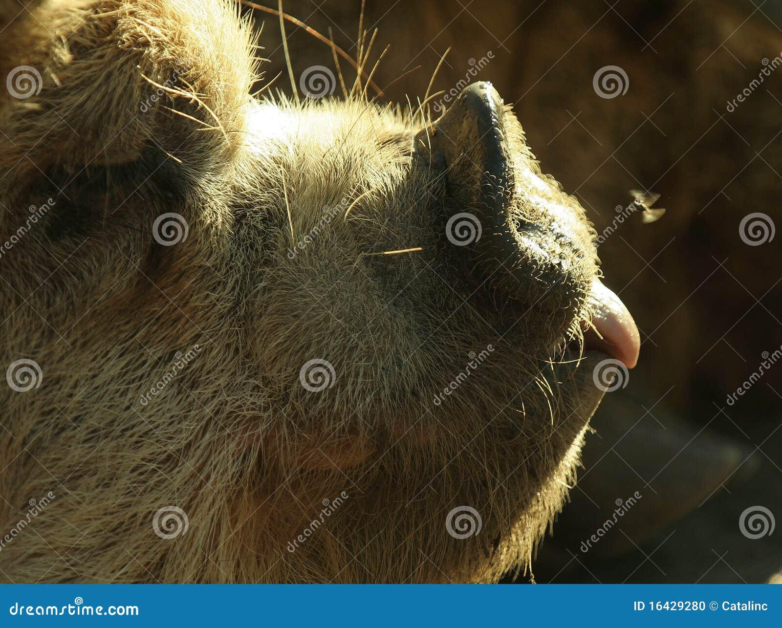 Porc négligent