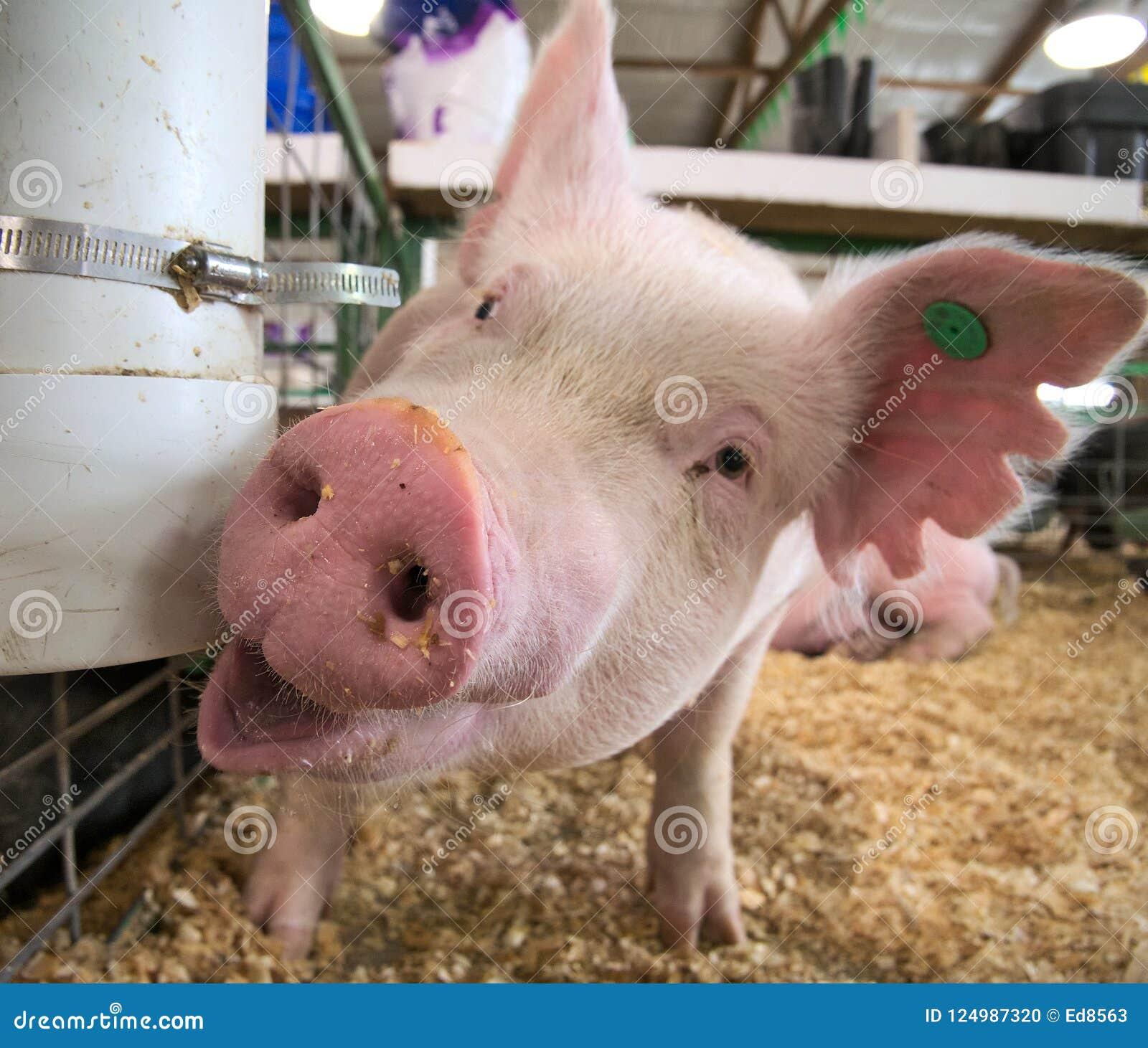 Porc porcin de petit porcelet d intérieur dans un plan rapproché de grange de ferme