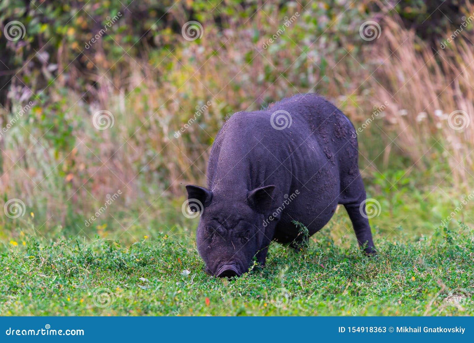Porc Pot-gonflé vietnamien sur l herbe
