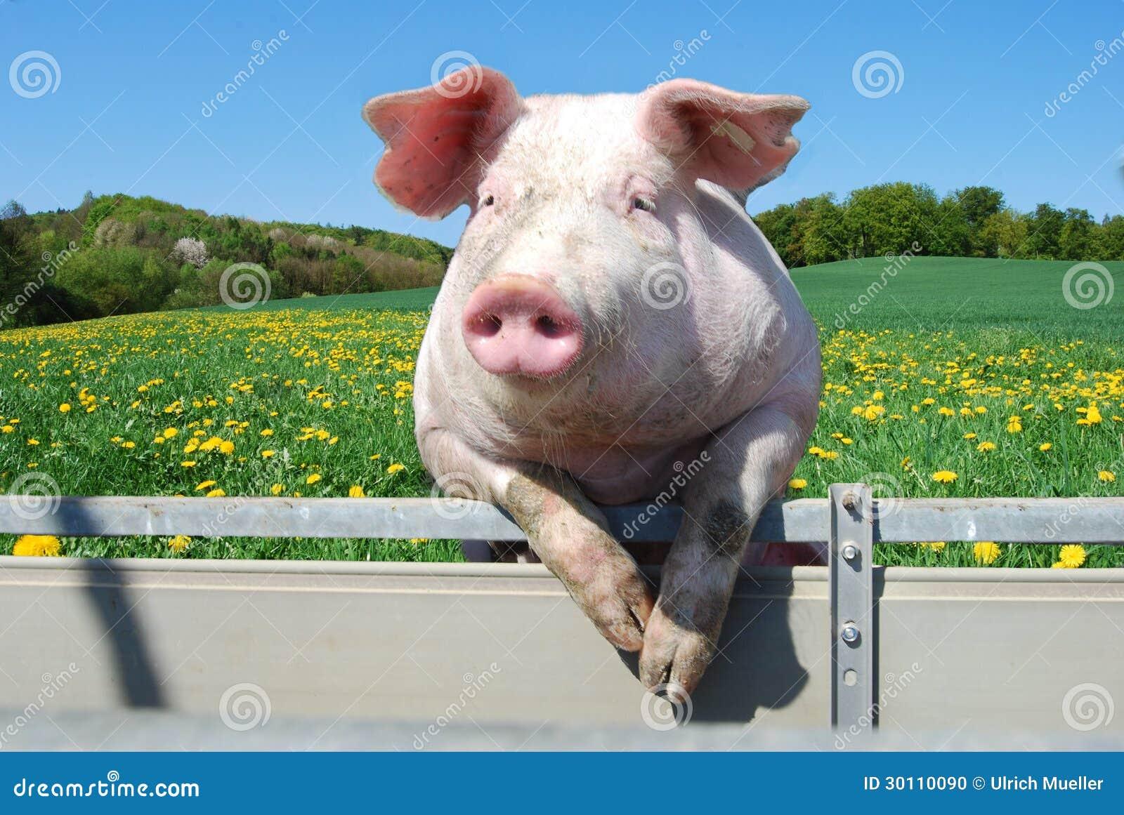Porc sur une tente