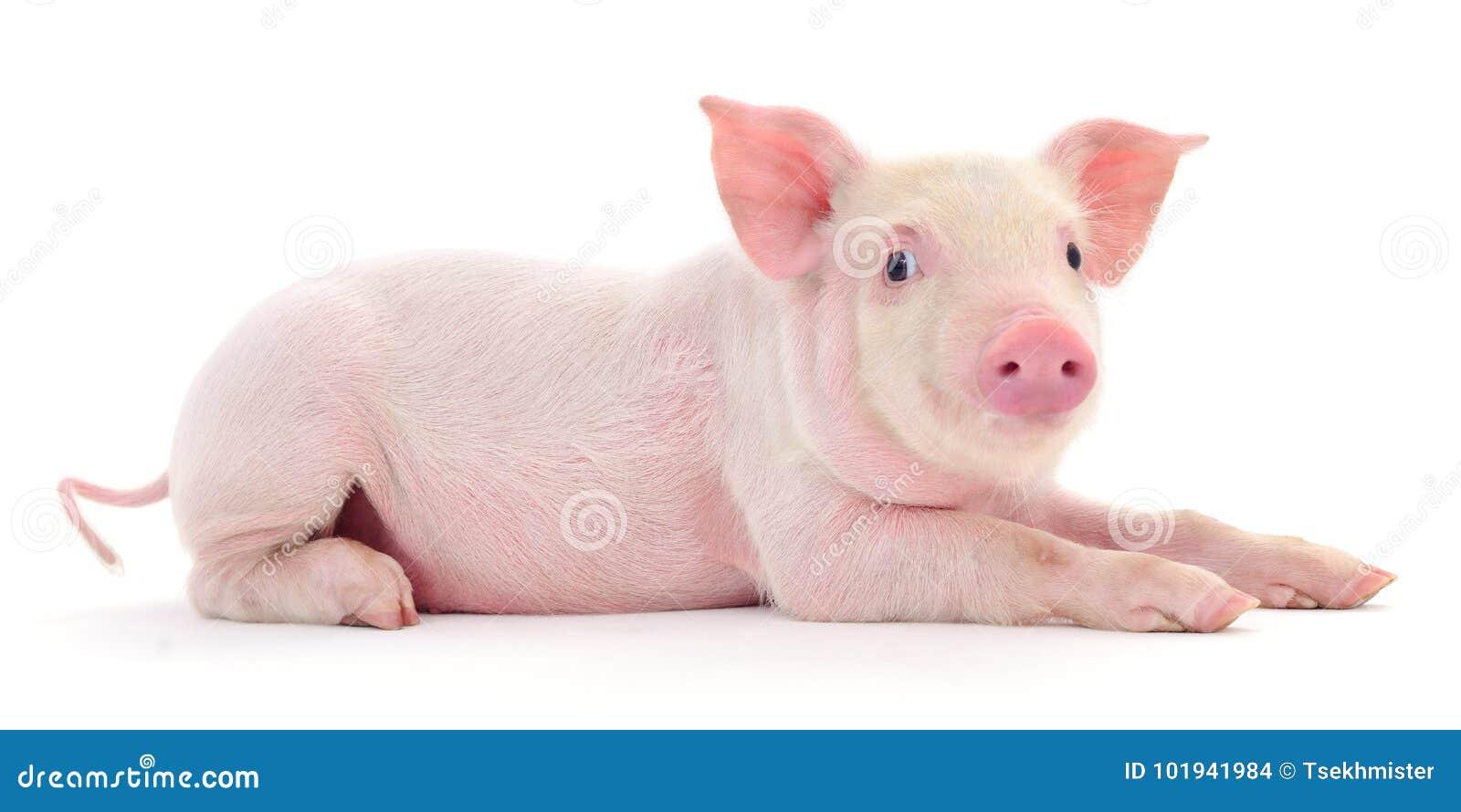 Porc sur le blanc