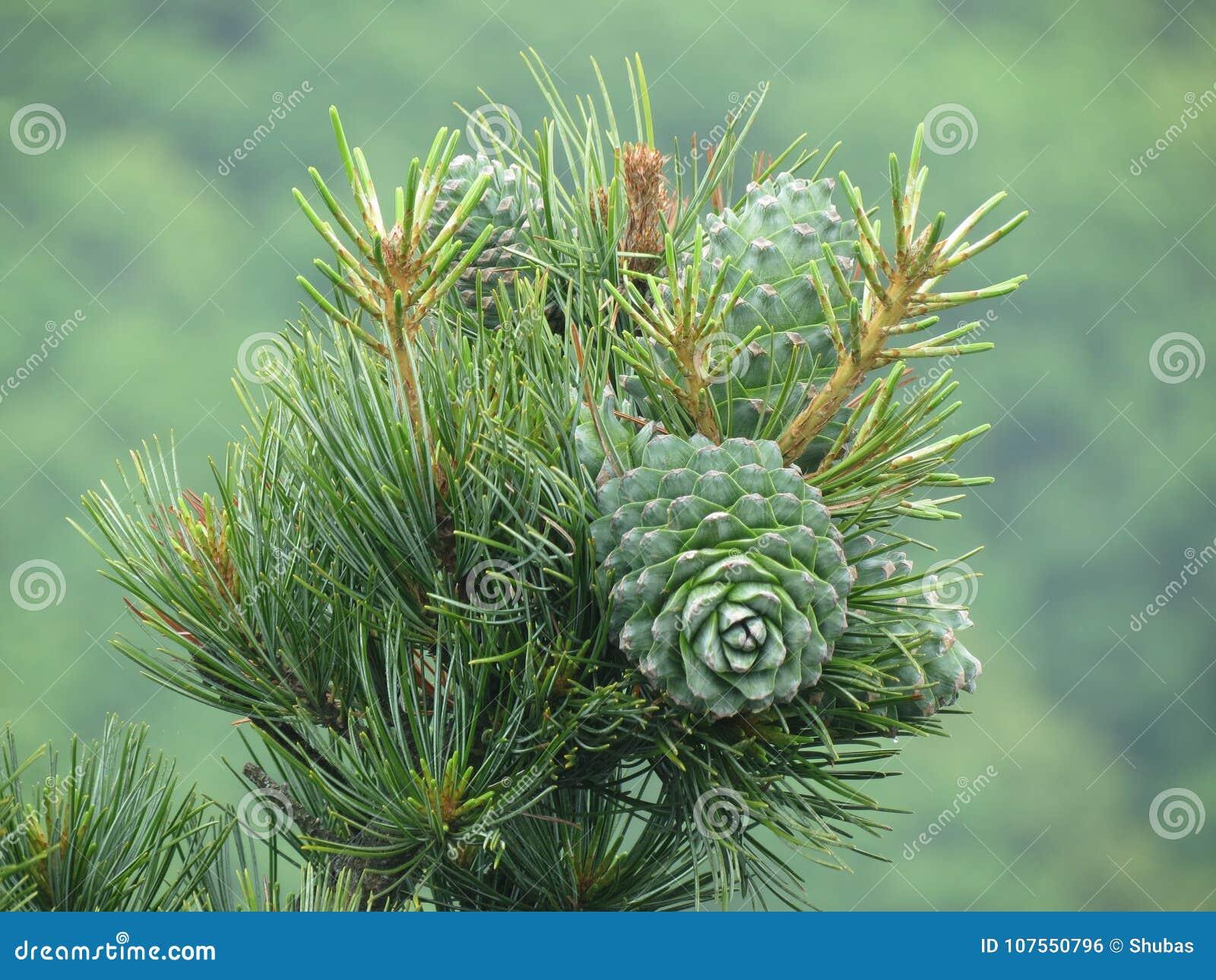 Porca de cedro, verde do cone do pinho Pinhão, protuberância do pinho, madeira do cedro