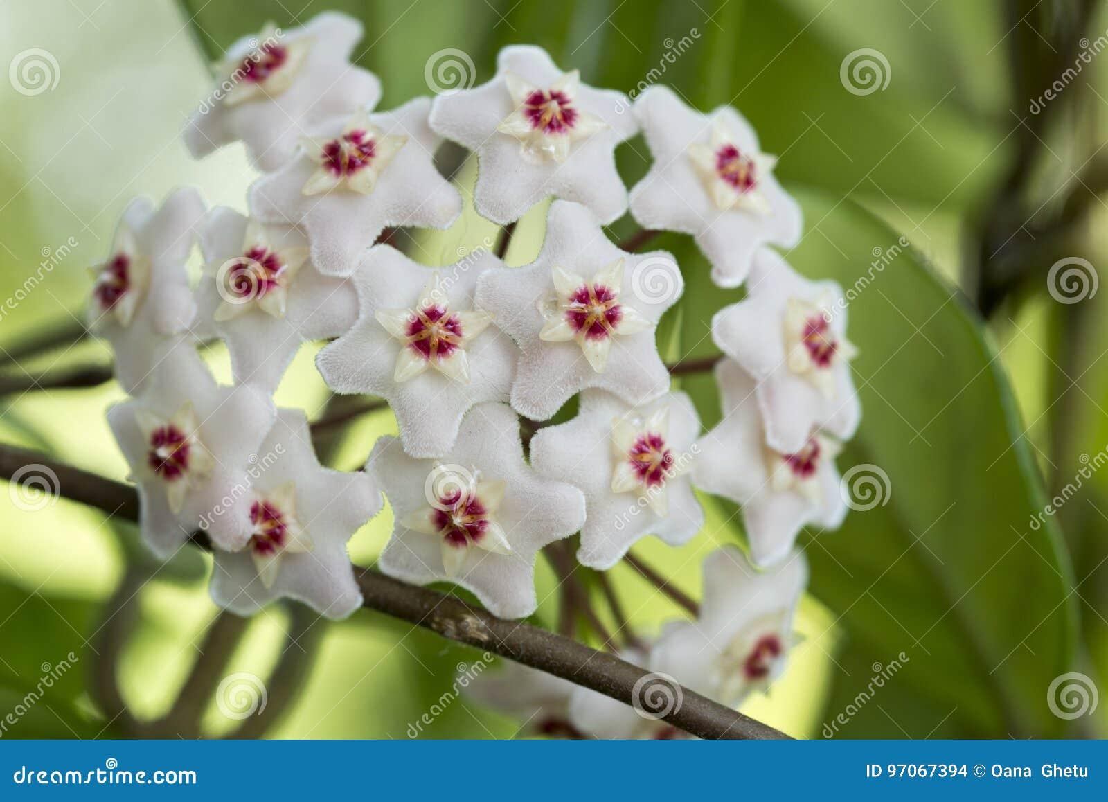 Porcelainflower o pianta da cera