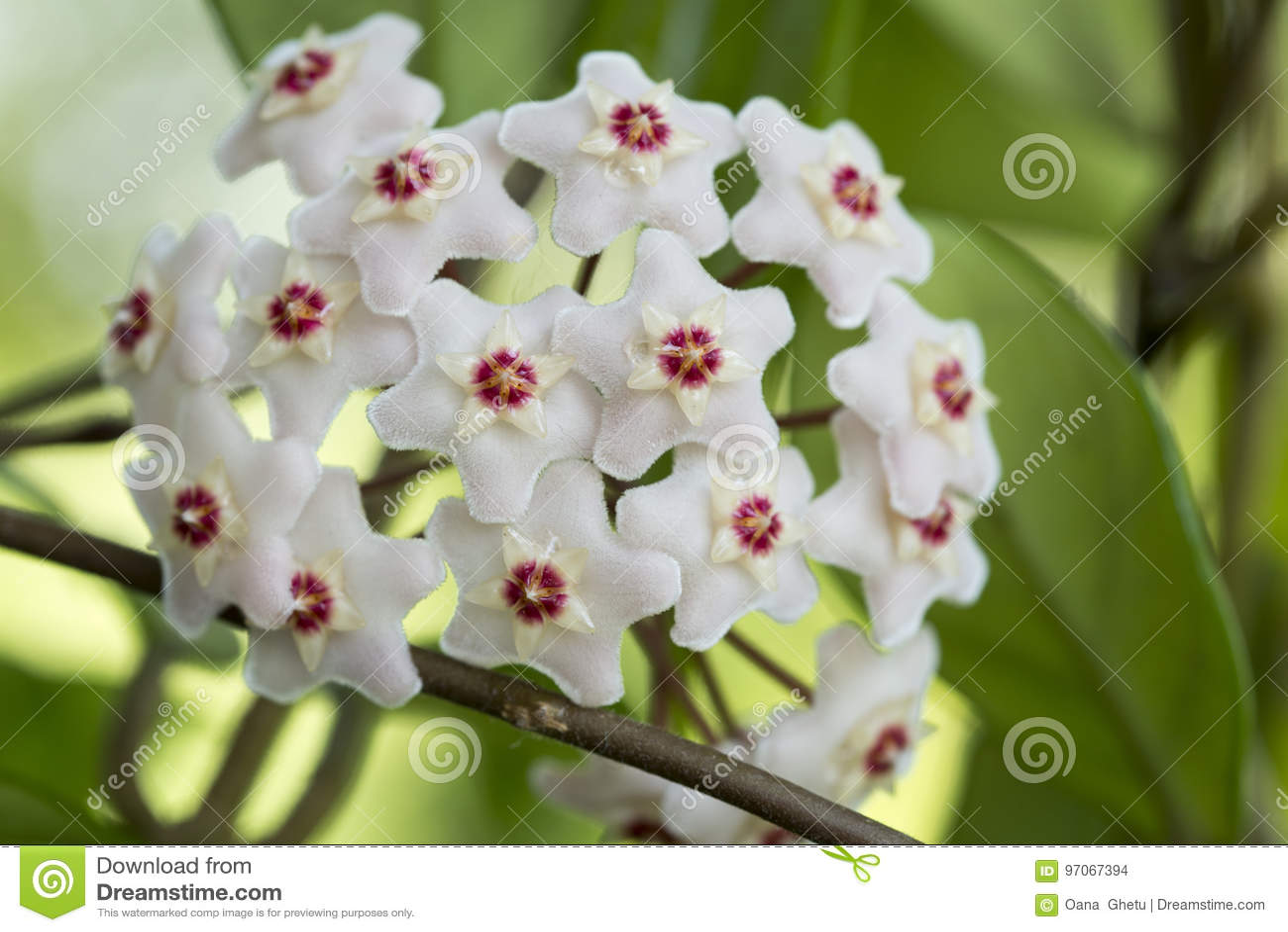 Porcelainflower ou usine de cire