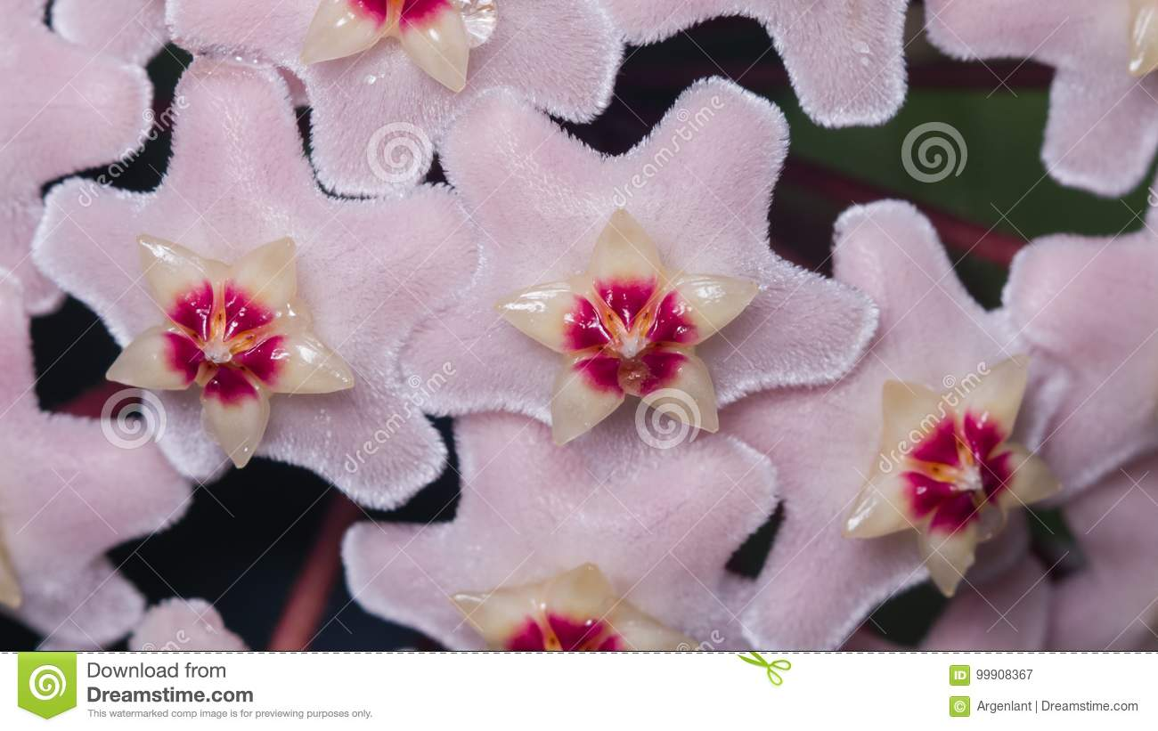 Porcelainflower or wax plant Hoya Carnosa flowers with nectar drops macro, selective focus, shallow DOF