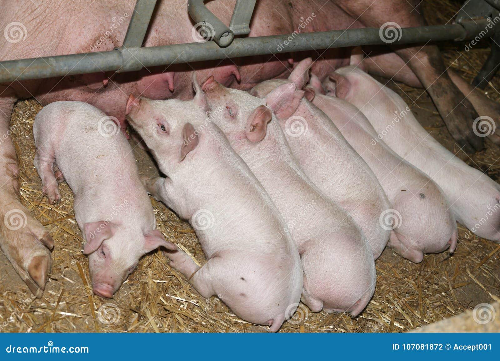 Porcelets nouveau-nés allaitant leur mère à l usine de porc