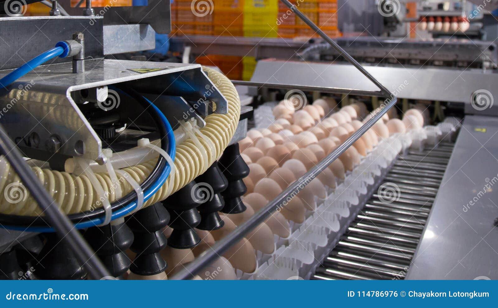 Porción de huevos en la bandeja, el negocio del huevo y el proceso de la capa