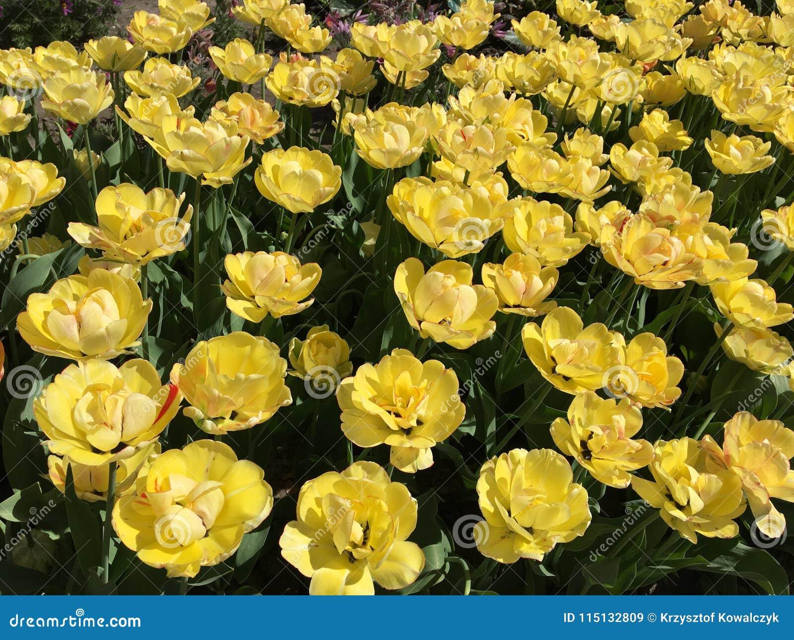 Porciones De Flores Amarillas Del Tulipan Nombre Akebano Imagen De